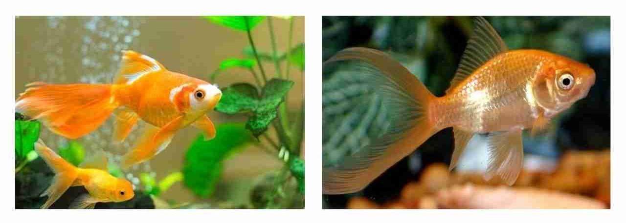 कॉमेट गोल्डफिश (Comet Goldfish)
