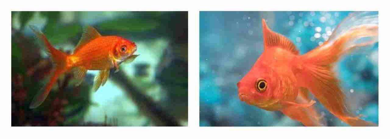साधारण सुनहरी मछली (Common Goldfish)