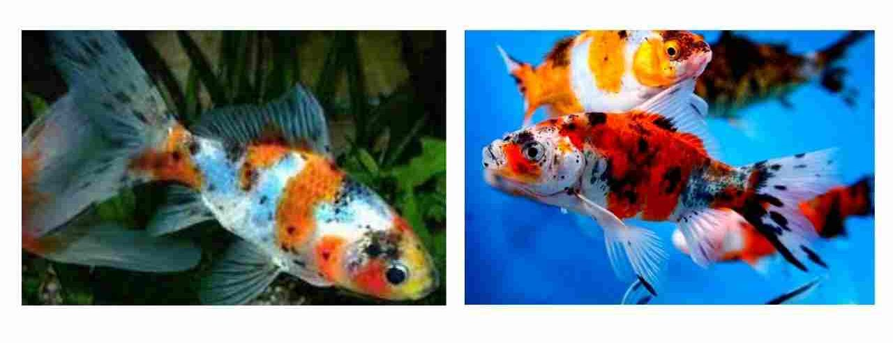 शुबंकिन गोल्डफिश (Shubunkin Goldfish)